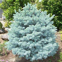 Саженцы Ели колючей голубой  Кейбаб (Picea pungens Glauca Kaibab), фото 1