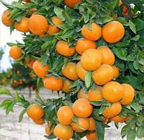 Саженцы мандарина Ковано-васе - комнатный, урожайный, сладкий