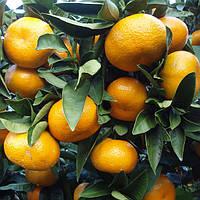 Саженцы мандарина Уншиу - сладкий, крупноплодный, урожайный