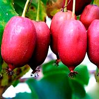 Актинидия Пурпурная (Purple) - женский сорт, урожайная, сладкая