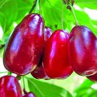 Кизил Костя - средний, крупноплодный, урожайный