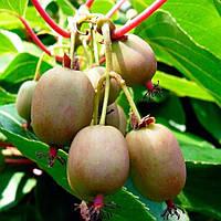 Актинидия Самоплодная (Self-fertile) - самоплодная, крупноплодная, морозостойкая
