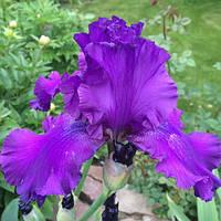 Ирис германский (бородатый) Мастер Тач (Iris germanica Master Touch)