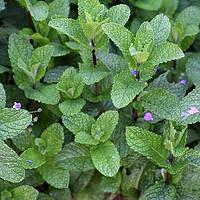 Мята клубничная (Mentha spicata Almira)