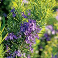 Розмарин лекарственный (Salvia rosmarinus)