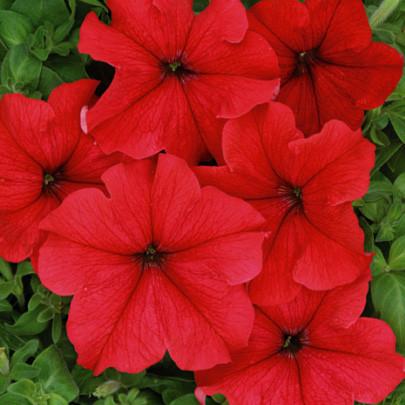 Семена Петуния Лавина F1 красная 50 гранул, Cerny