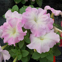 Семена Петуния Мамбо розовое утро 100 гран, Hem Genetics