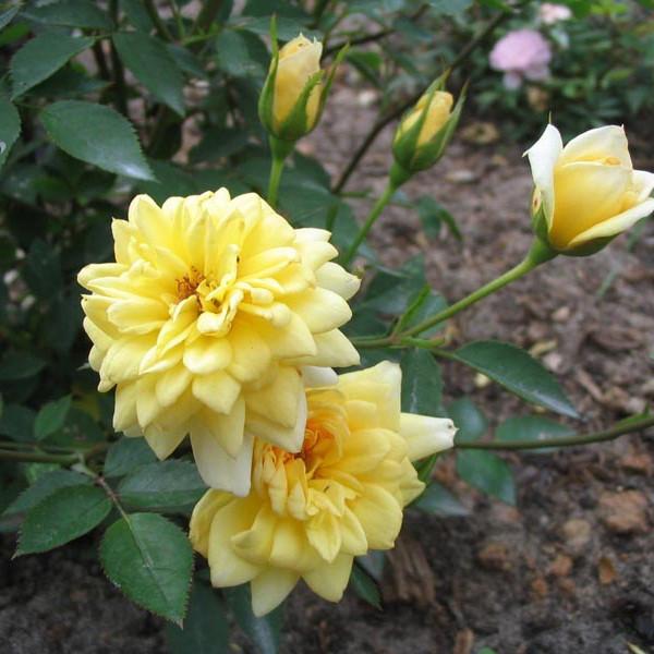 Саженцы розы - бордюрной Райзен Шайн (Rose Rise'n' Shine)