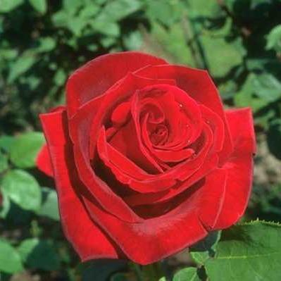 Саженцы розы - почвопокровной Ред Вильвет (Rose Red Velvet)