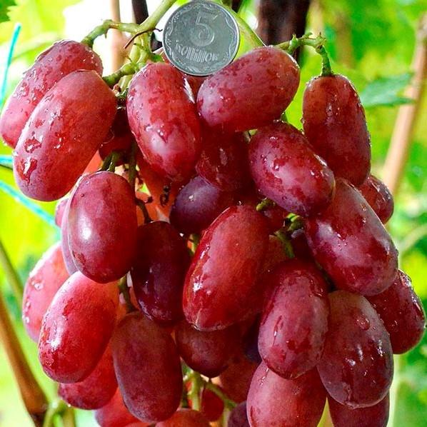 Саженцы Винограда Магистр - раннего срока, морозостойкий, крупноплодный