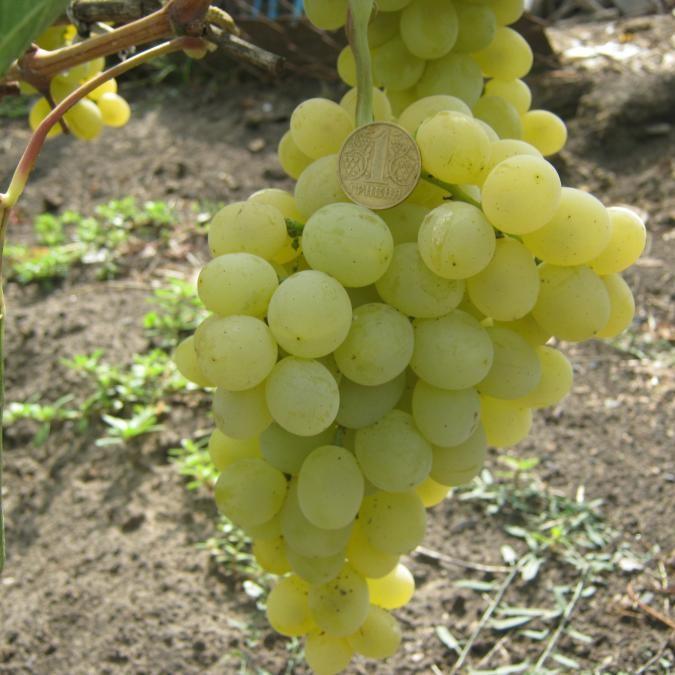 Саженцы Винограда Рафинад - ранне-среднего срока, транспортабельный, крупноплодный