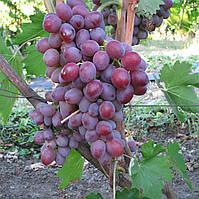 Саженцы Винограда Форевер - среднего срока, морозостойкий, крупноплодный