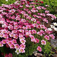 Камнеломка Арденса розовая (Saxifraga Arendsii)
