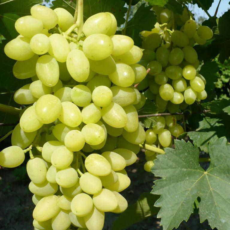 Вегетирующие саженцы столового виноград Августин - среднего срока, морозоустойчивый, неприхотливый.