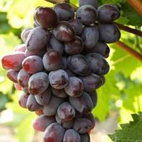 Вегетирующие саженцы винного  винограда Вишневый - средне-ранний