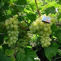 Вегетирующие саженцы столового винограда Лора - раннего срока, крупноплодный, морозостойкий
