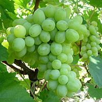 Вегетирующие саженцы винограда Кишмиш № 342 - раннего срока, урожайный, морозостойкий