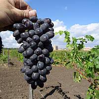 Вегетирующие саженцы винограда Дойна - поздний, урожайный, зимостойкий