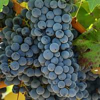 Вегетирующие саженцы винограда Каберне Юра - средний, урожайный, неприхотливый