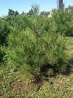Сосна крымская / Pinus рallasiana / Сосна кримська