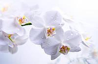 Нежная белая орхидея