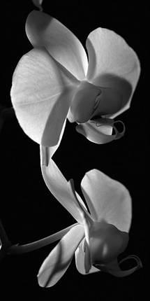 Цветок орхидеи (в ч/б), фото 2