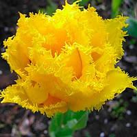 Луковичные растения Тюльпан Moonamour (махр+бахр), фото 1