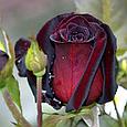Чайно гибридная роза Блэк Баккара «Black Baccara», фото 3