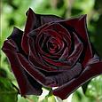 Чайно гибридная роза Блэк Баккара «Black Baccara», фото 2