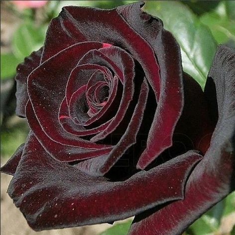 Чайно гибридная роза Блэк Баккара «Black Baccara»
