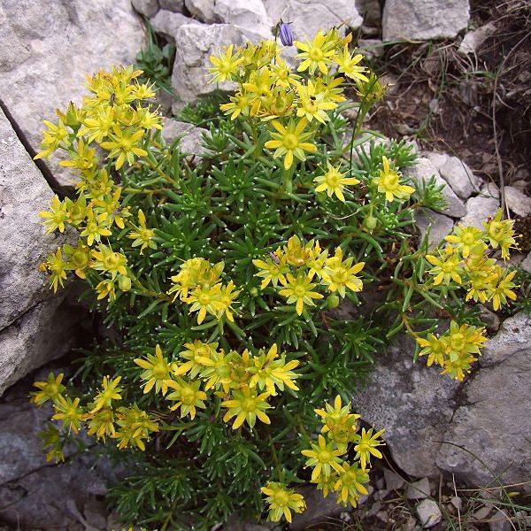 Саджанці Ломикаменя жорстколистного (Saxifraga aizoides)