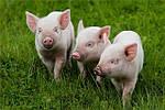 Стимуляторы роста свиней