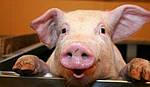 Основные незаразные болезни свиней