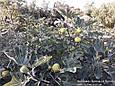 Інжир Далматський жовтий(Закрита коренева), фото 4
