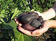 Інжир Кримський чорний(Закрита коренева), фото 5