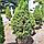 Ель канадская 'Коника' / Ялина канадська 'Коніка'/  Picea glauca 'Conica', фото 3