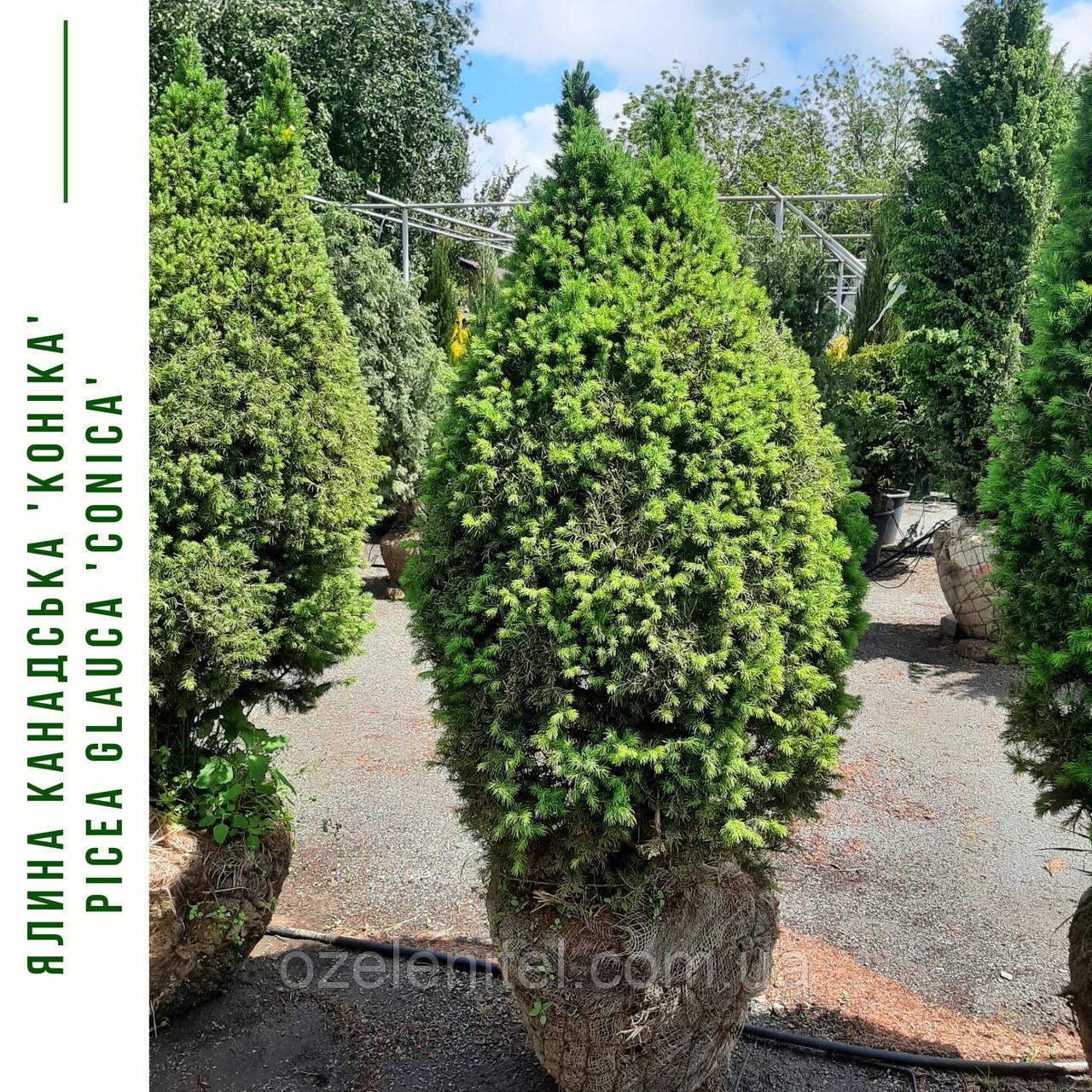 Ель канадская 'Коника' / Ялина канадська 'Коніка'/  Picea glauca 'Conica'