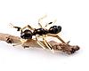 Брошь брошка значок металлический насекомое МУРАВЕЙ ОГРОМНЫЙ мурашка, фото 2