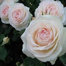 Роза Палас Рояль/ Пале Рояль (Palais Royal) Плетистая, фото 2