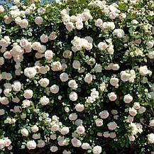 Роза Палас Рояль/ Пале Рояль (Palais Royal) Плетистая, фото 3