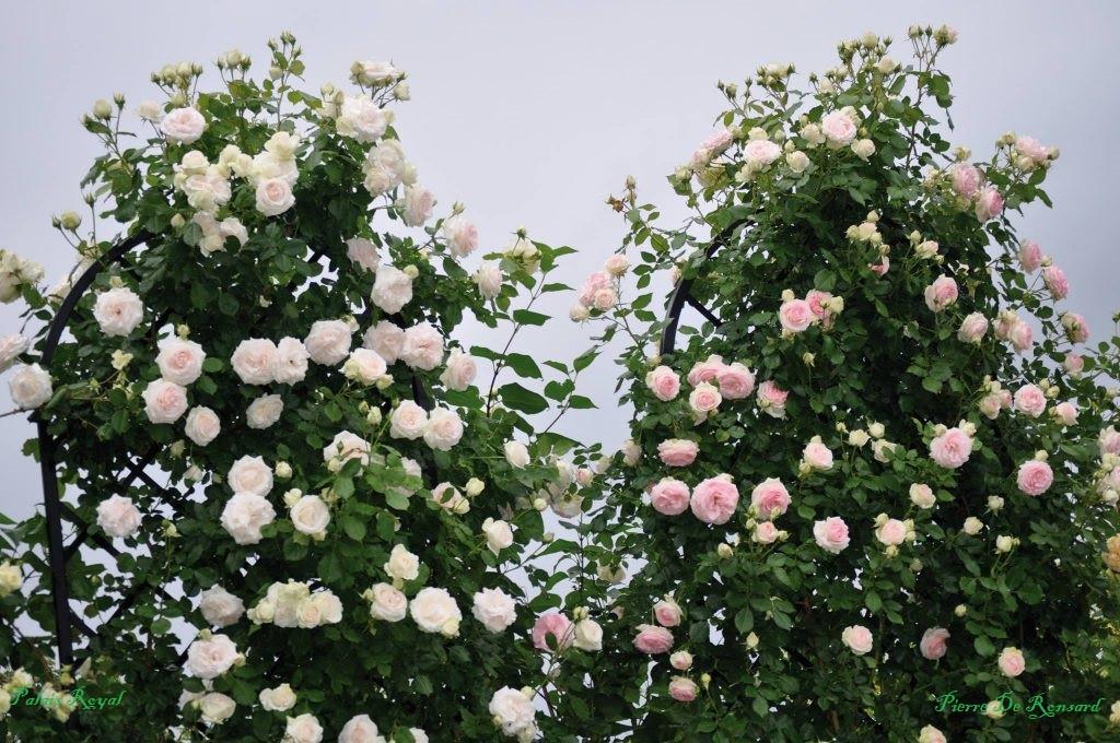 Роза Палас Рояль/ Пале Рояль (Palais Royal) Плетистая