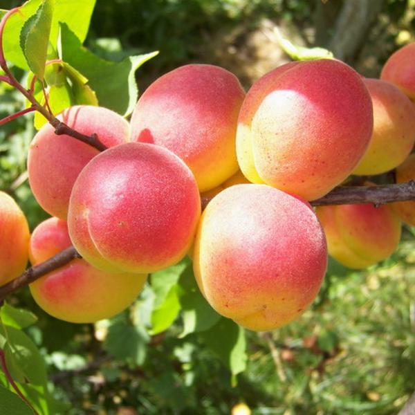 Саджанці абрикосу Червонощокий (раньоспілий сорт)