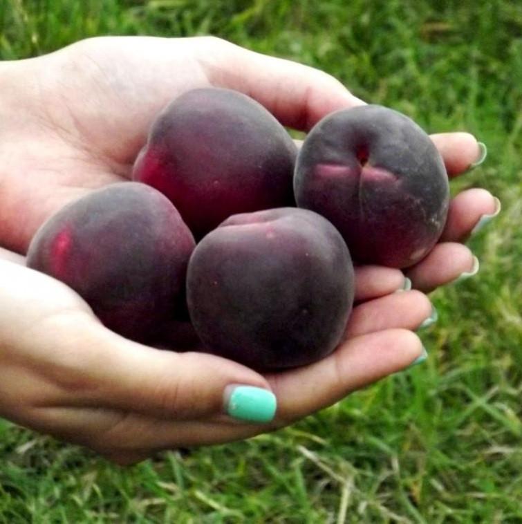 Саджанці абрикосу Чорний Принц (середньоспілий сорт)