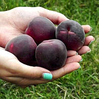 Саджанці абрикосу Чорний Принц (середньоспілий сорт), фото 1
