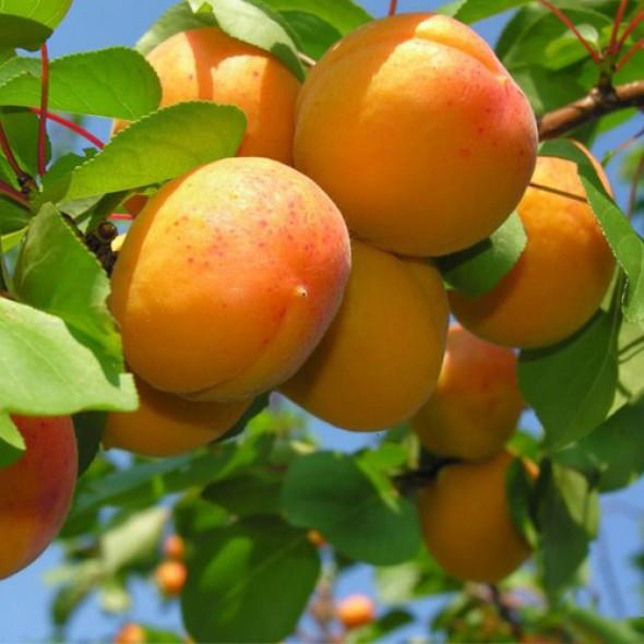 Саджанці абрикосу Монастирський (пізньоспілий сорт)