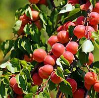 Саджанці абрикосу Perle Cot (середньоспілий сорт), фото 1