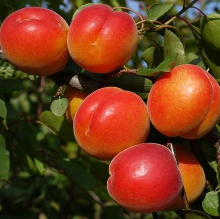 NEW в Україні! Саджанці абрикосу BERGEVAL (середньоспілий сорт)