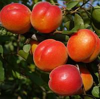 NEW в Україні! Саджанці абрикосу BERGEVAL (середньоспілий сорт), фото 1