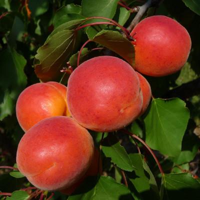 New на Україні! Саджанці абрикосу Bergarouge (середньопізній сорт)