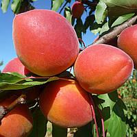 NEW в Україні! Саджанці абрикосу Frisson (пізньоспілий сорт)